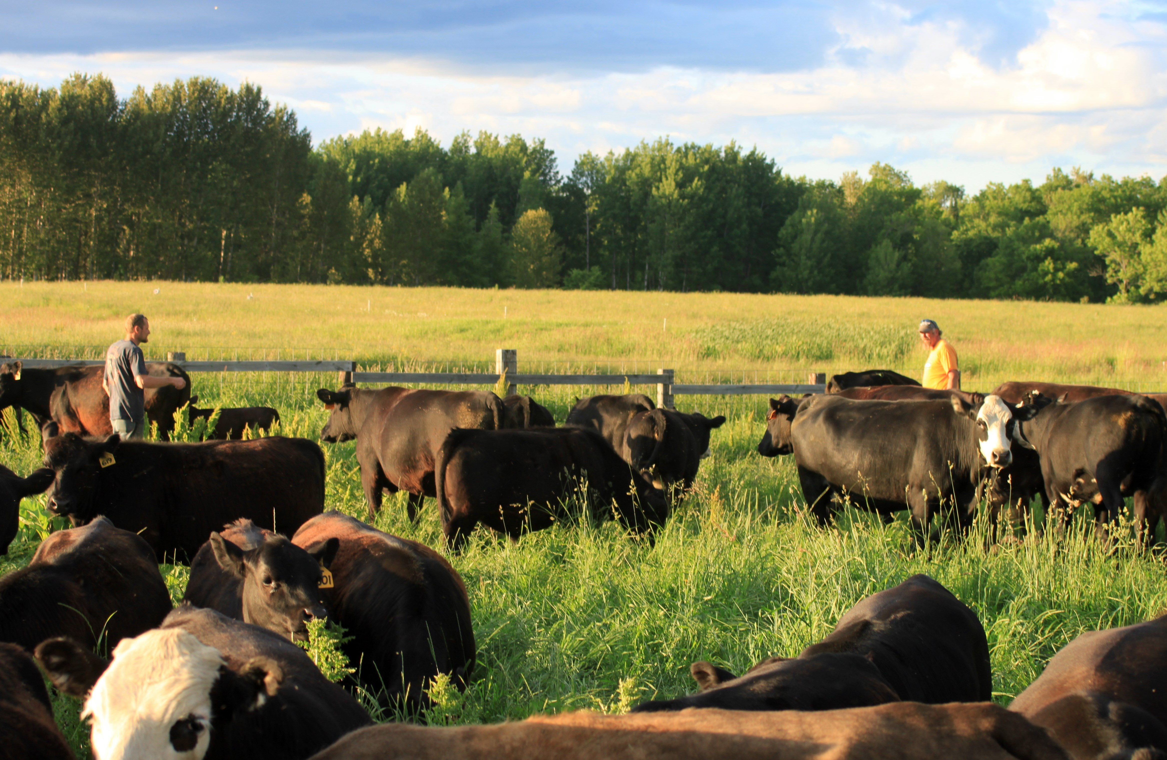 Herd of Grass-Fed Beef Cows